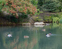 Ducks swim on lake at the Kinkaku temple in Kyoto, Japan Stock Images