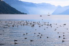 Ducks swim in the lake near the boat. stock photography