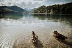Ducks on the lake at Schloss Neuschwanstein in Bavaria Germany Royalty Free Stock Images