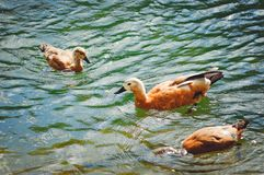 Ducks swim in the lake on a summer day. royalty free stock photography