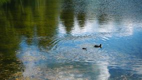 Two ducks swim in a lake. Ducks swim in a lake stock video footage
