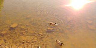Ducks for a swim. Mallard ducks, fall afternoon swim Stock Photo