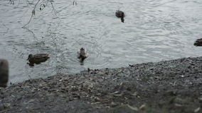 Ducks swim near the shore. Autumn. Ducks swim near the shore autumn stock footage