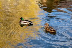 Free Ducks Swim On A River In A City Park Stock Photos - 175704993