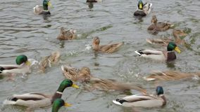 Ducks swim in the pond.  stock footage