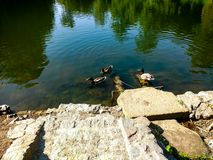 Ducks in pond royalty free stock photography