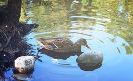 Ducks swim in the pond Royalty Free Stock Photos
