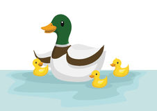 Ducks swim in the pond. Ducks and duckling swim in the pond Stock Photo