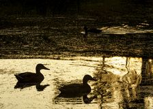 Ducks swim in a pond with golden water at dawn in Oranjerpark in the town of Vlaardingen royalty free stock photo