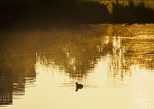 Ducks swim in a pond with golden water at dawn in Oranjerpark in the town of Vlaardingen royalty free stock photography