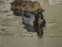 Ducks swim in the pond. Two wild ducks swim in the river Royalty Free Stock Photography