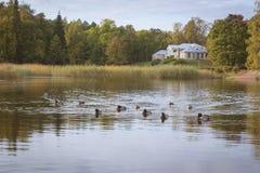 Ducks swim in a pond Stock Photos