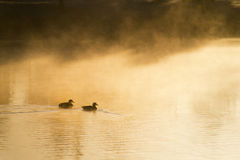 Ducks swim quietly through heavy mist at warm winter sunrise. Royalty Free Stock Image