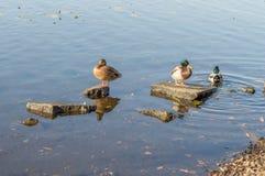 Ducks swim in the river city. Ducks swim in the urban river in autumn. Bask in the sun royalty free stock photo