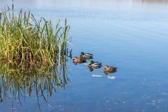 Ducks swim in the river city. Ducks swim in the urban river in autumn. Bask in the sun royalty free stock image