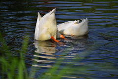 Ducks swim in river, dive for fish Royalty Free Stock Images