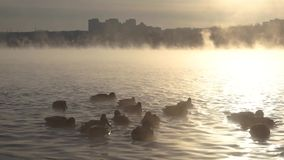Ducks swim in the River in the fog. stock video footage