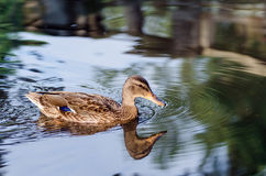 Ducks swim in a small lake in the park. Royalty Free Stock Image