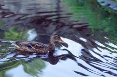 Ducks swim in a small lake in the park. Royalty Free Stock Photo