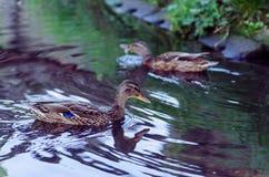 Ducks swim in a small lake in the park. Stock Photo