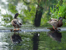 Ducks swim in a small lake in the park. Stock Images