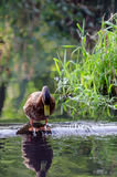Ducks swim in a small lake in the park. Stock Image