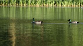 Ducks swim. Two males of a duck swim along the lake stock video footage
