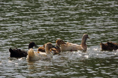 Ducks swim on water Royalty Free Stock Photo