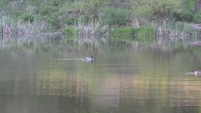 Male ducks and brown duck, a family of wild ducks swimming in the pond in the su. Ducks swim through the water in the pond at sunset, the water reflects the stock video footage