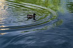 Ducks swim in the water at the zoo. 4K Royalty Free Stock Photos