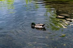 Ducks swim in the water at the zoo. 4K Stock Photos