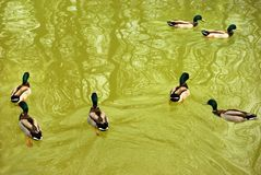 Ducks swiming in the lake Stock Images