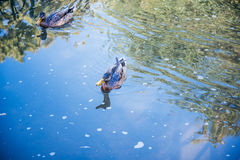 Ducks swiming in the lake. In summer sunny day Royalty Free Stock Image