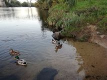 Ducks swiming. Ducks swimming on the banks on the river royalty free stock photography