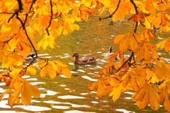 Ducks swimming across the pond. In autumnal park Royalty Free Stock Photos