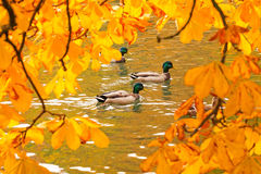 Ducks swimming across the pond. In autumnal park Stock Photo