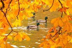 Ducks swimming across the pond stock photo