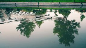 Ducks swimming against�water�flow in the canal. Wild mother duck and three ducklings swimming against water flow in the canal stock video