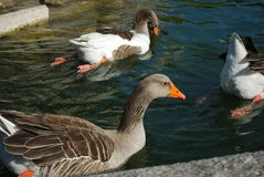 Ducks swimming in a artificial lake Royalty Free Stock Images