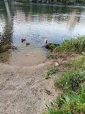 Ducks. Swimming on the banks on the river near the beach river stock images