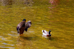 Ducks swimming in a beautiful lake. Green background lake. Close-up of a young couple ducks swimming in a beautiful lake. Green background lake Royalty Free Stock Photography