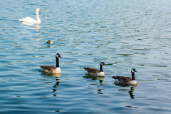 Ducks swimming in beautiful water Royalty Free Stock Images