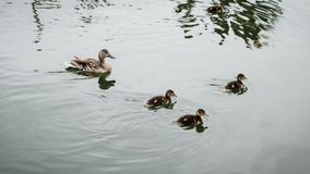 Ducks swimming on a canal. Mallard duck and ducklings swimming on a canal with water ripples Royalty Free Stock Images