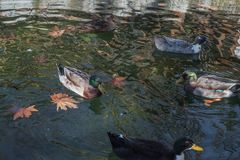 Ducks swimming in cold clear water fallen leaves royalty free stock photo