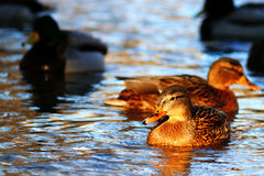 Ducks swimming in cold pond. Water Stock Photography