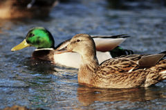 Ducks swimming in cold pond water Royalty Free Stock Images