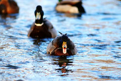 Ducks swimming in cold pond. Wild ducks swimming in cold pond Royalty Free Stock Images