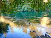 Ducks swimming crystal clear aqua blue creek under big trees Royalty Free Stock Photos