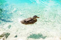 A duck swimming in a crystal turquoise water. Plitvice lakes national park royalty free stock photo