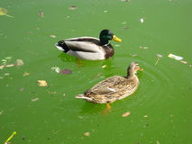 Ducks swimming in dirty water. Ciutadella Park, Barcelona, Spain Stock Image